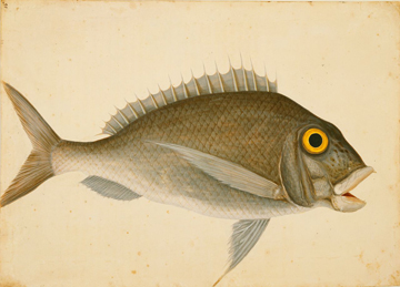 Porgy by Mark Catesby