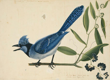 Mark Catesby at the Gibbes — The Blue Jay and the Bay-Leaved Smilax