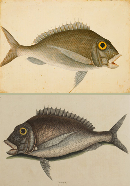 Mark Catesby at the Gibbes — The Porgy