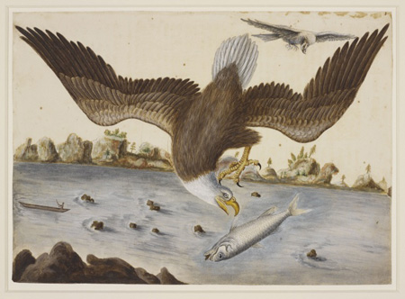 Mark Catesby at the Gibbes — the Bald Eagle