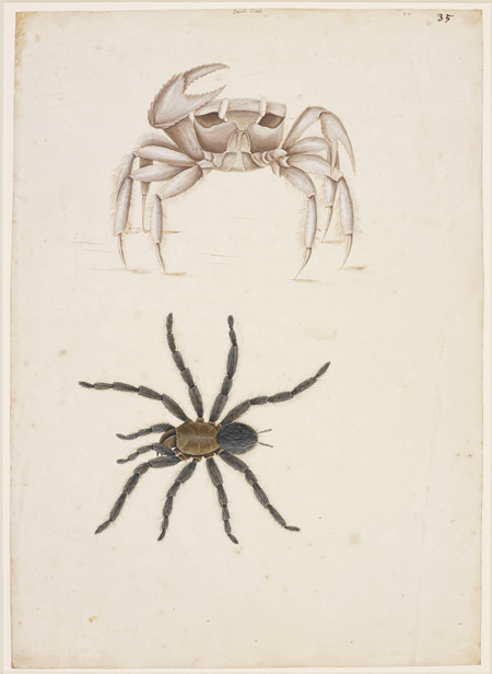 Mark Catesby at the Gibbes — the Ghost Crab and a Spider