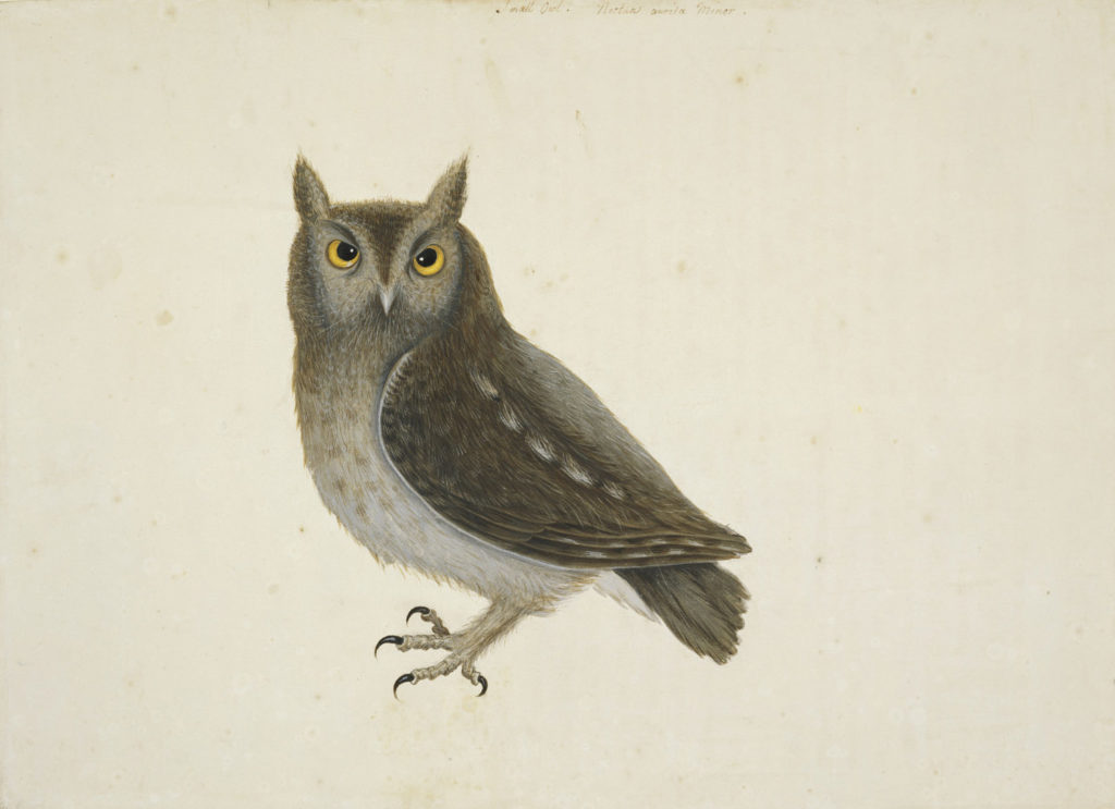 Mark Catesby at The Gibbes — The Little Owl