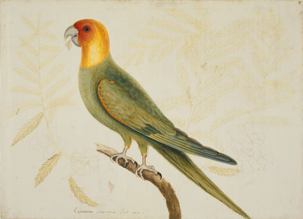Mark Catesby at the Gibbes | The Parrot of Carolina
