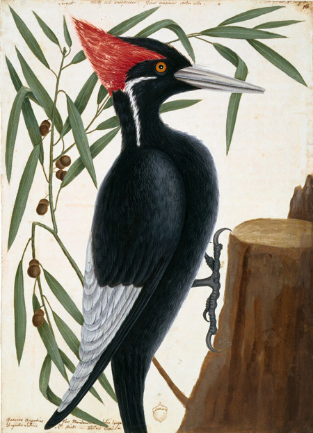 Mark Catesby at the Gibbes | Ivory-billed woodpecker