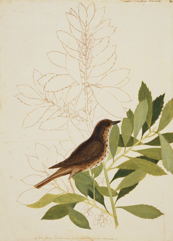 Mark Catesby at the Gibbes — The Little Thrush and the Dahoon Holly