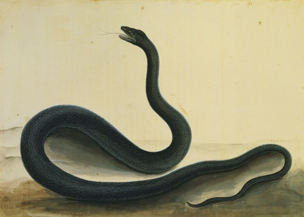 Mark Catesby at the Gibbes — the Black Snake