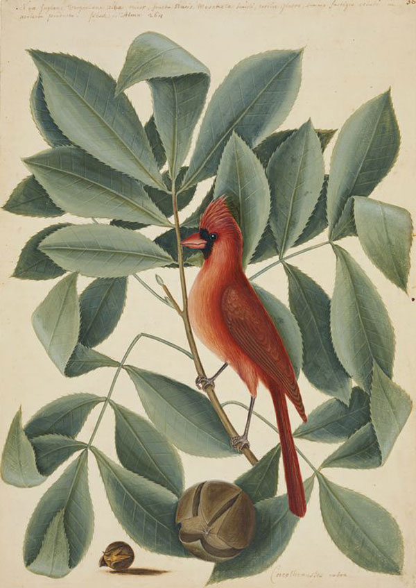 Mark Catesby at the Gibbes | The Red Bird