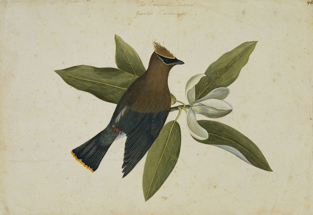 Mark Catesby at the Gibbes | The Chatterer and the Magnolia