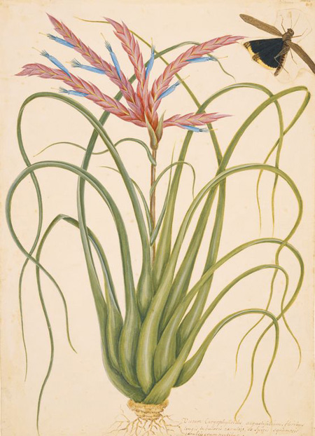 Mark Catesby at the Gibbes | The Wild Pine and Locusta Caroliniana
